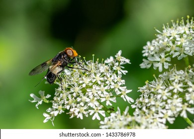 Pellucid Hoverfly (Volucella pellucens) resting on cow parsley flowers (Anthriscus sylvestris)