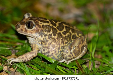 Pelobates cultripes, green and yellowish toad on the grass, selective focus