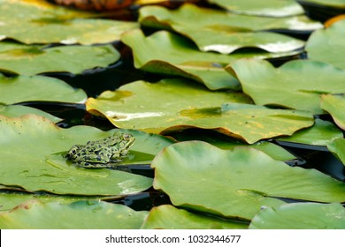Pelophylax, green frogs