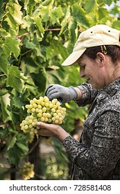 PELOPONNESE,GREECE-AUGUST 15, 2017:A woman worker harvesting grapes in a greek vineyard. Selective focus.