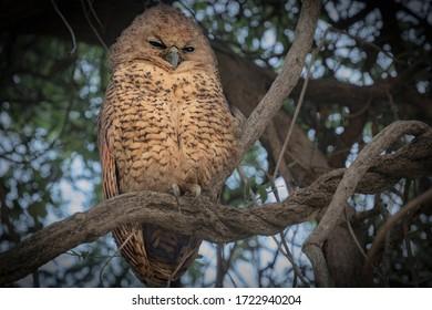 A Pel's Fishing Owl chick looking sleepy in a tree in the day. Okavango Delta, Botswana