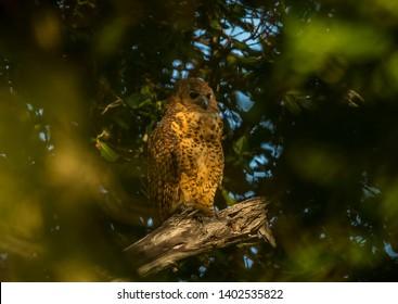 Pel's Fishing Owl Latin name: Scotopelia peli