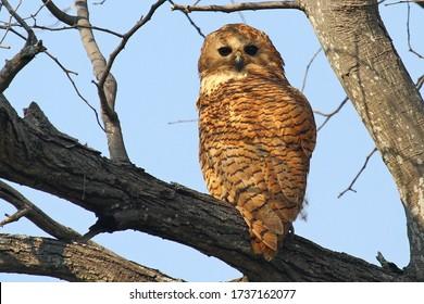 Pel's Fishing Owl on an open branch