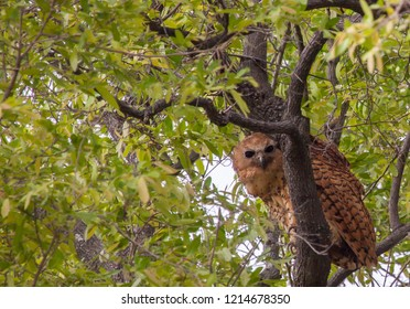 Pels fishing owl perched high up in tree in Botswana.