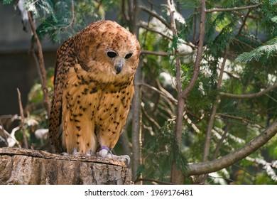 Pel's fishing owl, Scotopelia peli, beautiful bird in the forest tree habitat, Okavango delta, Moremi, Botswana in Africa. Big brown owl hidden in the green vegetation, wildlife scene from nature.