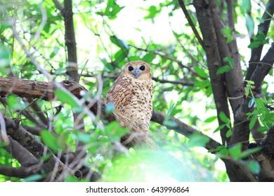 Pel's fishing owl (Scotopelia peli) in Zambia