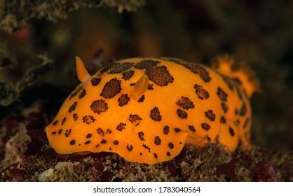 Peltodoris mullineri nudibranch on a Palos Verdes reef