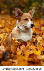 Pembroke Welsh Corgi dog in autumn Park