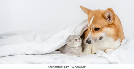 Pembroke welsh corgi dog sieht Babykätzchen unter einer warmen Decke auf einem Bett zu Hause an. Leerzeichen für Text
