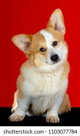 Pembroke Welsh Corgi dog portrait sits, isolated on red background. looking at the camera.