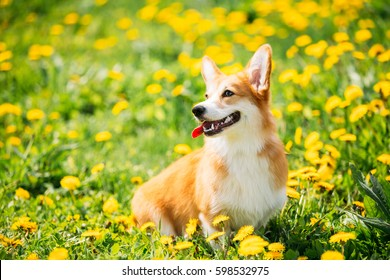 Pembroke Welsh Corgi Dog Puppy Sitting In Green Summer Grass. Welsh Corgi Is A Small Type Of Herding Dog That Originated In Wales