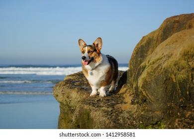 Pembroke Welsh Corgi dog sitting on rocks by ocean