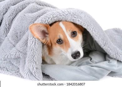 pembroke welsh corgi dog wrapped in a grey blanket