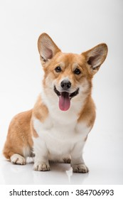 A pembroke welsh corgi female posing on white background