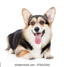 Pembroke Welsh Corgi lying with open mouth. isolated on white background