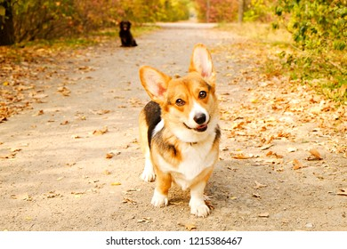 Pembroke welsh corgi on a walk in the park on nice warm autumn day. Two different breed dogs playing outdoors, many fallen yellow leaves on ground. Copy space, background.