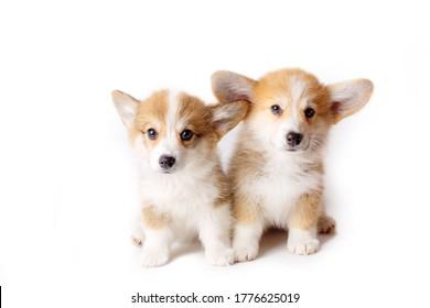 Pembroke Welsh Corgi puppies isolated on white background