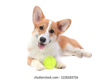 pembroke welsh corgi puppy with ball lying white background