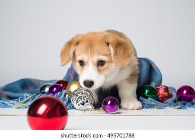 Pembroke welsh corgi puppy with christmas decorations
