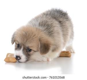 pembroke welsh corgi puppy with dog bone on white background