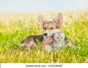 Pembroke Welsh Corgi puppy hugging tiny kitten on a summer grass