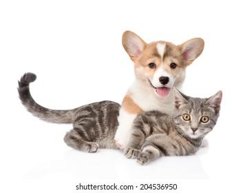 Pembroke Welsh Corgi puppy hugging cat. isolated on white background