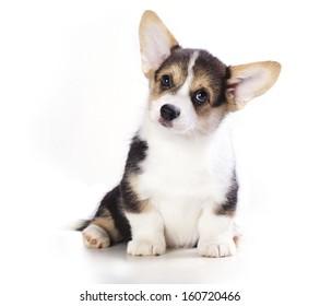 Pembroke Welsh Corgi puppy. isolated on white background