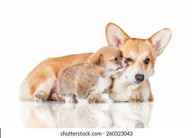 Pembroke welsh corgi puppy kissing his mother