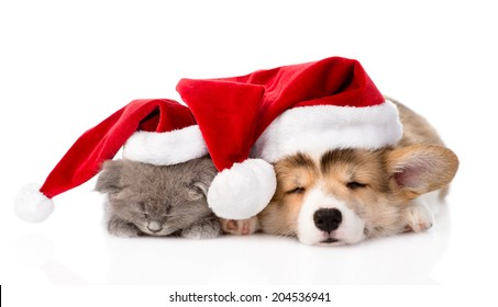 Pembroke Welsh Corgi puppy and kitten with red santa hats sleeping together. isolated on white background