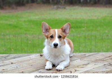 pembroke welsh corgi puppy laying outside