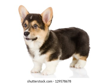 pembroke Welsh Corgi puppy. looking away. isolated on white background