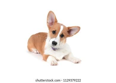pembroke welsh corgi puppy lying  white background