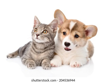 Pembroke Welsh Corgi puppy lying with cat together and looking away. isolated on white background