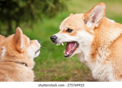 Pembroke welsh corgi puppy playing with his mother