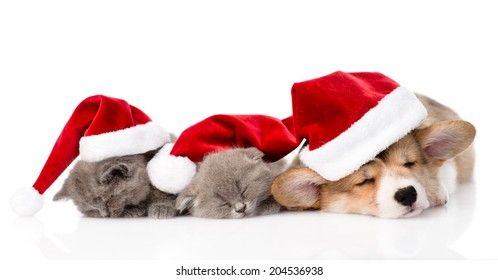 Pembroke Welsh Corgi puppy with red santa hats and two kittens  sleeping together. isolated on white background