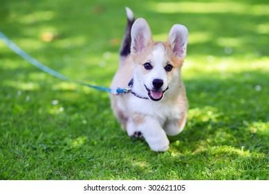 Pembroke welsh corgi puppy running against green grass background