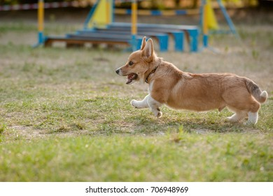 Pembroke Welsh Corgi puppy running on the agility course