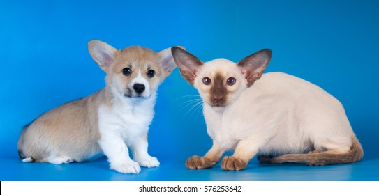 Pembroke Welsh Corgi puppy and siam kitten sits on blue background and looking at camera, studio shot