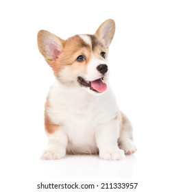 Pembroke Welsh Corgi puppy sitting in front. isolated on white background