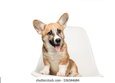 Pembroke Welsh Corgi puppy sitting on chair. looking at camera. isolated on white background