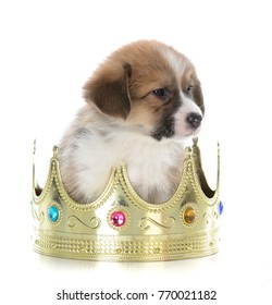pembroke welsh corgi puppy sitting in a crown on white background