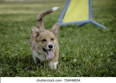 Pembroke Welsh Corgi puppy walking on green grass