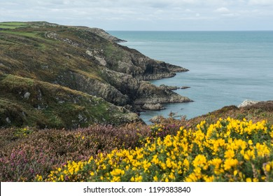 Pembrokeshire Coast, Wales, UK- View of the coastal path with yellow & purple heather flowers. A beautiful coastal National Park and popular visitor attraction.