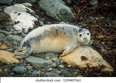 Pembrokeshire, Wales, UK- A seal pup in one of the many bays, a common sight along the coastal path in Autumn time.