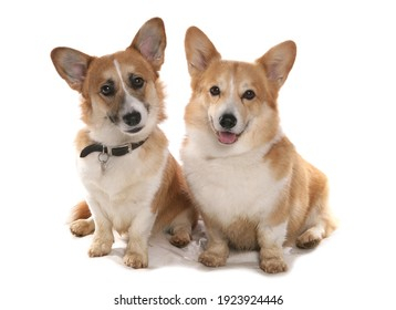 Pembrokeshire Welsh Corgis isolated on a white background