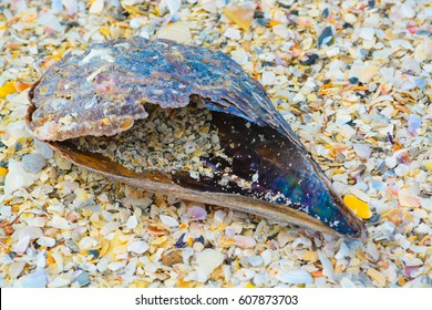 Pen shell laying in the sand of Indian Rocks Beach on the Gulf of Mexico, Florida USA