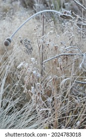 Pendent, flattened ornamental spikelets of North America wild oats (Chasmanthium latifolium) in hoar frost in a garden in November