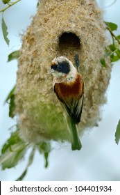 penduline tit on the nest (remiz pendulinus)