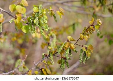 Pendulous green catkins of an aspen tree (populus tremula). Location: Western Siberia.