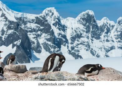 Penguin in Antarctica feeding chick